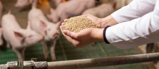 Aliments des porcs