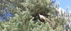 chenilles processionnaires du pin